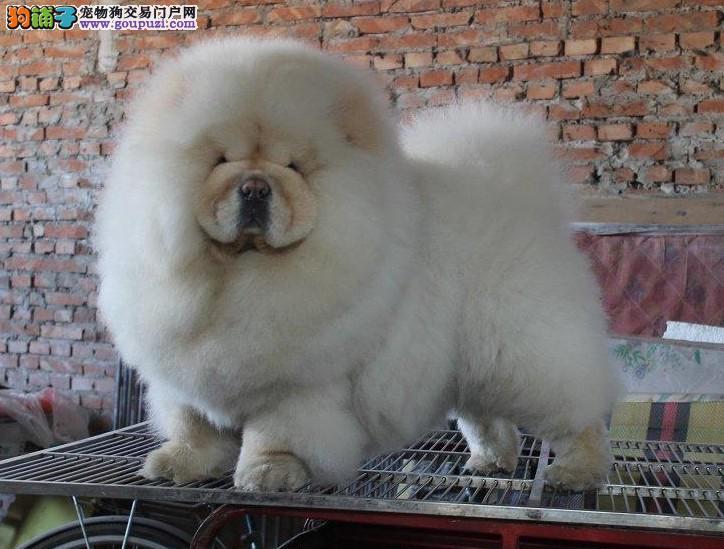 中国顶端松狮犬在这里,传承冠军品质