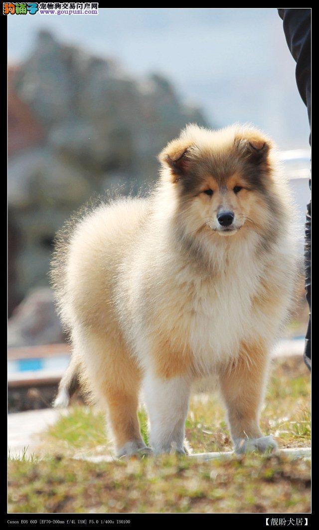 苏格兰牧羊犬幼犬的购买原则包括哪些内容
