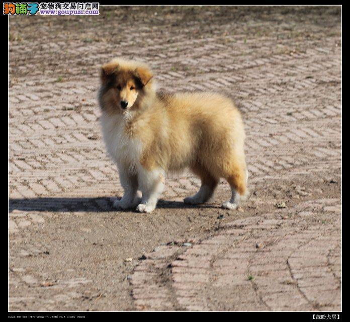 武汉纯血苏格兰牧羊犬出售免疫做齐签订质保可送可视频