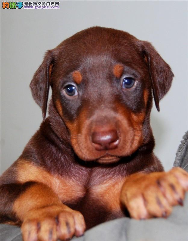 哪里有卖杜宾犬 哪里卖的杜宾更便宜 杜宾哪里能买到