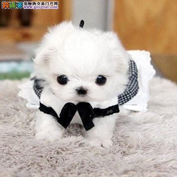 宝鸡马尔济斯幼犬,诚信出售,更多保障,美容后真实拍摄