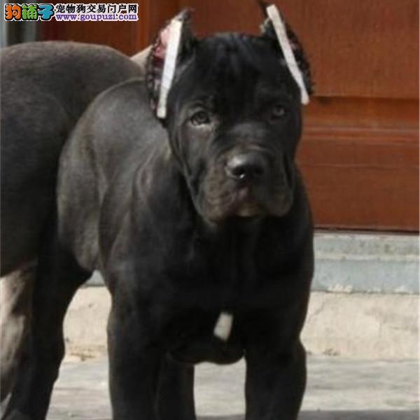 看门护院高大威猛卡斯罗幼犬出售血统纯正疫苗齐全
