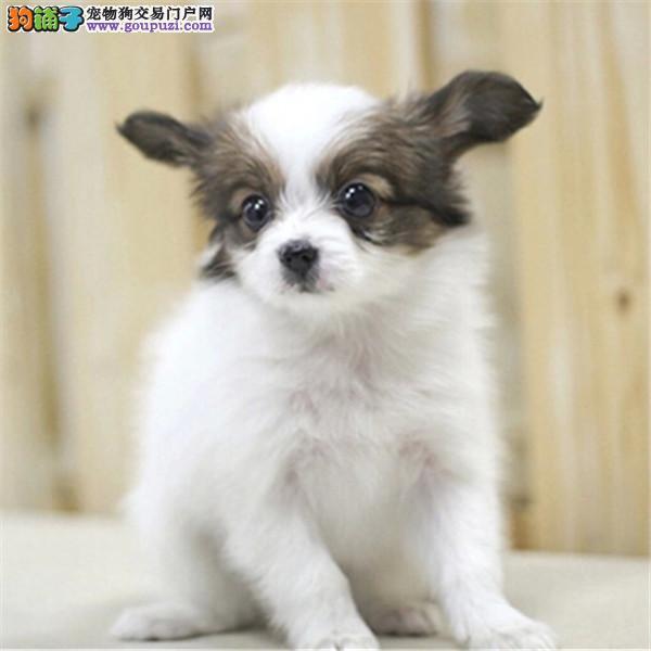 超漂亮蝴蝶犬宝宝,观赏性宠物首选。保纯保健康