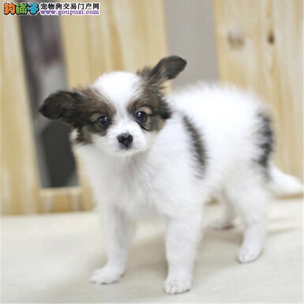 赣州正规犬舍高品质蝴蝶犬带证书可签合同刷卡