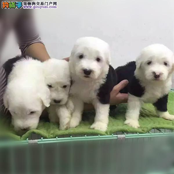 南京哪里出售古牧 古代牧羊犬出售 古牧照片2