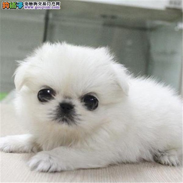 沈阳哪里有京巴犬出售 纯种健康的京巴犬哪里有多少钱