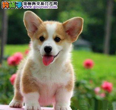 正规基地出售赛级双色柯基犬幼犬纯种保健康上门看父母
