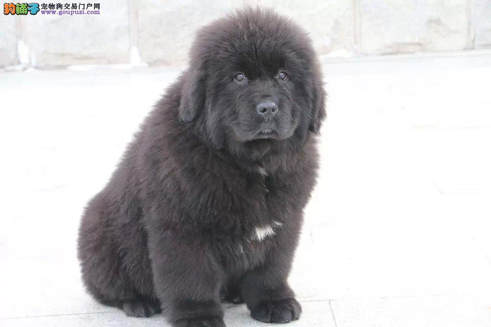 出售多只优秀的纽芬兰犬可上门赛级品质保障
