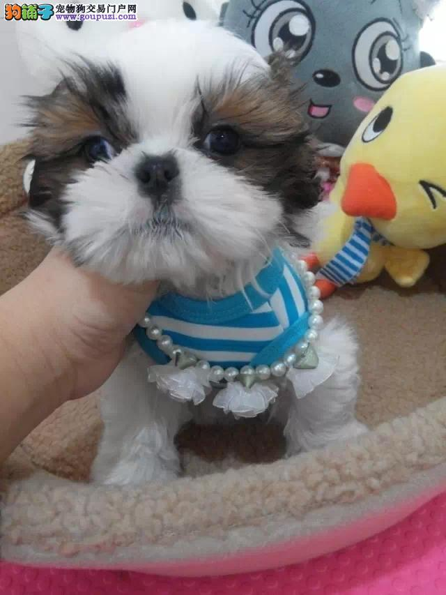 白山出售纯种西施犬 公母都有赛级西施犬出售 打完疫苗