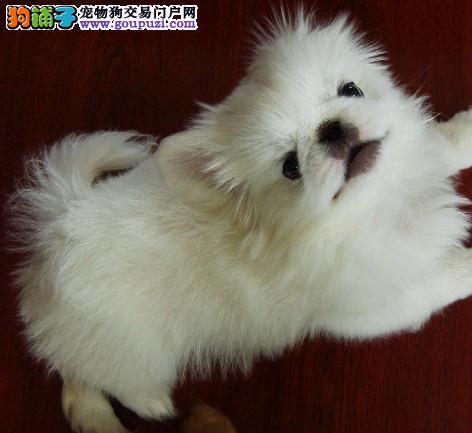 纯种京巴幼犬 公母均有多只选择 提供养狗指导
