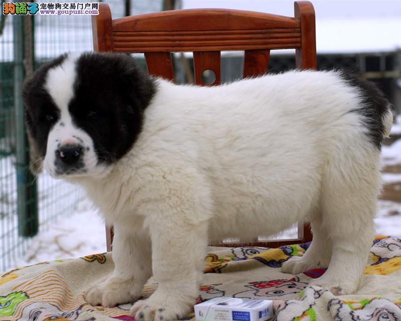 实体店低价促销赛级中亚牧羊犬幼犬下单有礼全国包邮
