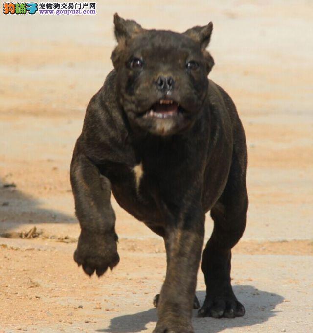 出售极品卡斯罗犬幼犬完美品相诚信经营良心售后