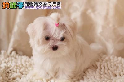 马尔济斯犬,公母都有,包纯种,有血统证,带芯片