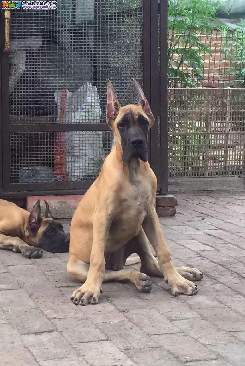 大丹犬乌鲁木齐最大的正规犬舍完美售后当日付款包邮