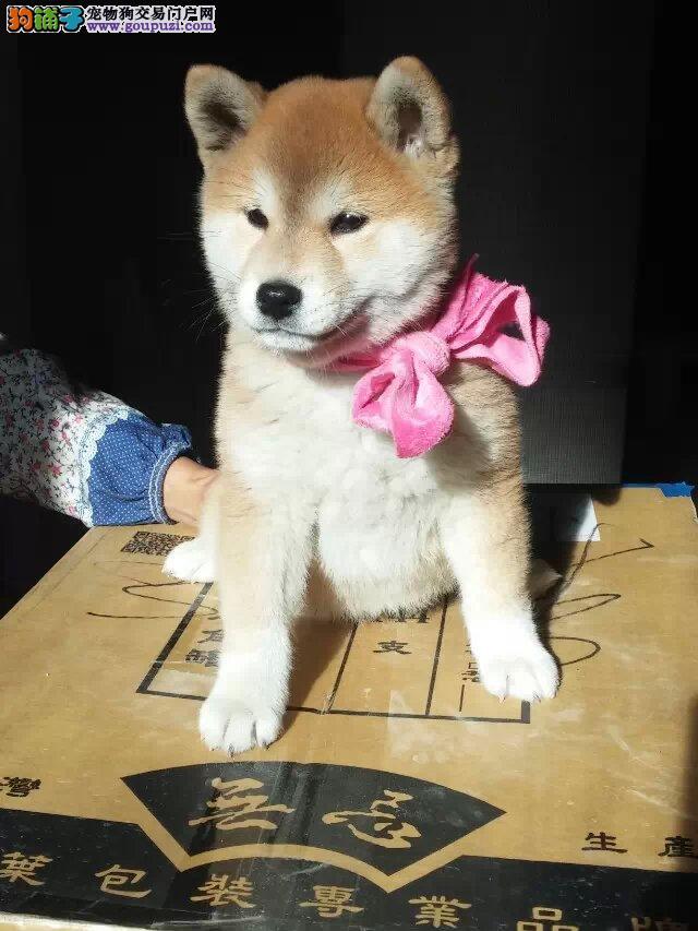 鄂尔多斯售纯种柴犬幼犬 日系柴犬西巴犬防疫齐可挑