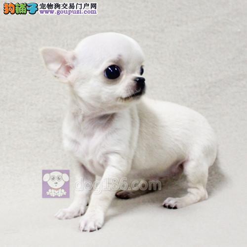 赛级吉娃娃幼犬出售,保证健康纯种。欢迎前来咨询