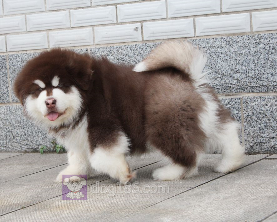 高端精品纯种巨型熊版阿拉斯加幼犬出售,欢迎前来选购