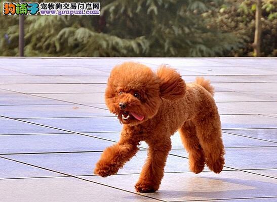 泰迪犬个性特征及脸型特征介绍(上)