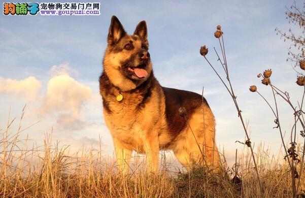 专业角度3方面评判德国牧羊犬是否优质