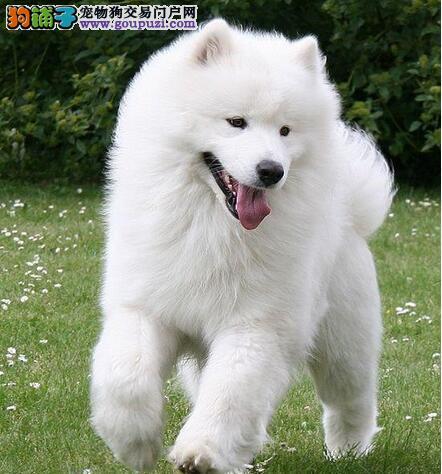 优质的萨摩耶犬要具备7点特征