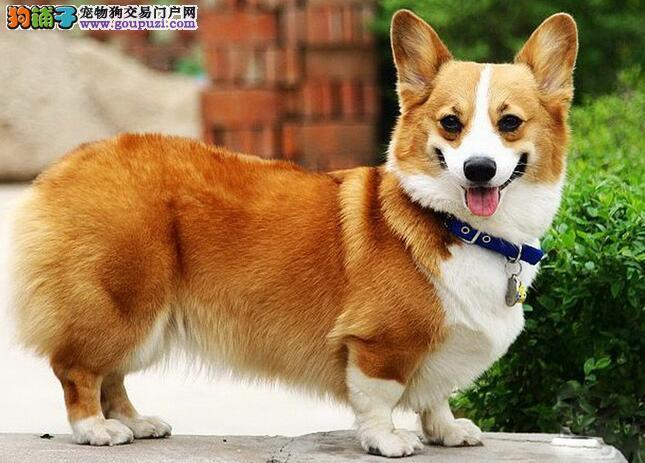 想挑选到优质的柯基犬,那么先来认识柯基犬