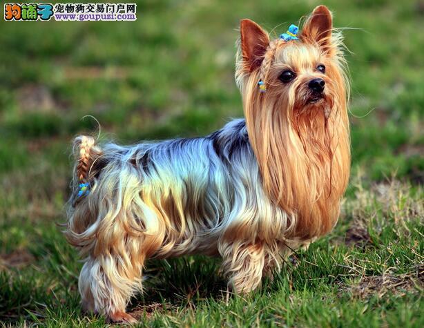 约克夏经过不断改良而成为小型玩赏犬