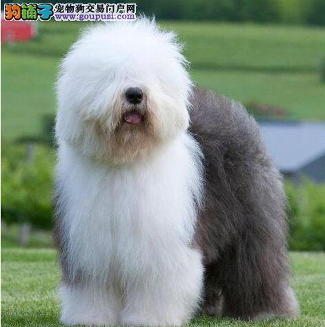 来了解一下英国古代牧羊犬外形特征