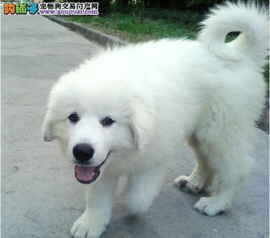 大白熊犬养护简单但是不易被驯服
