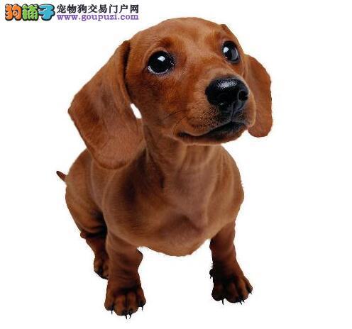 腊肠犬是一种不粘人的狗狗,值得饲养