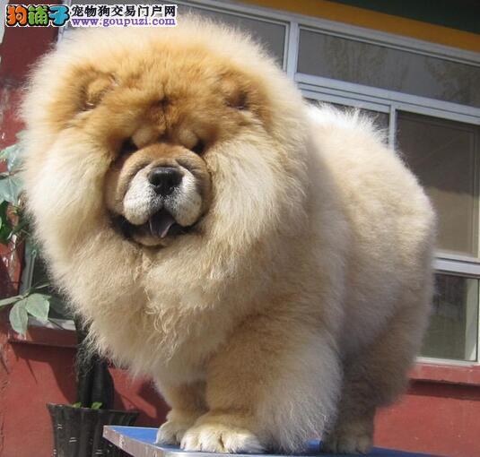 松狮犬,如同狮子般的高贵气质