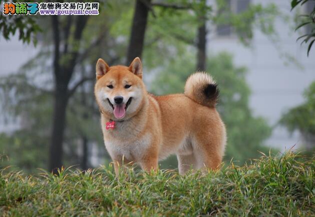 根据外观特征及性格挑选柴犬更可靠