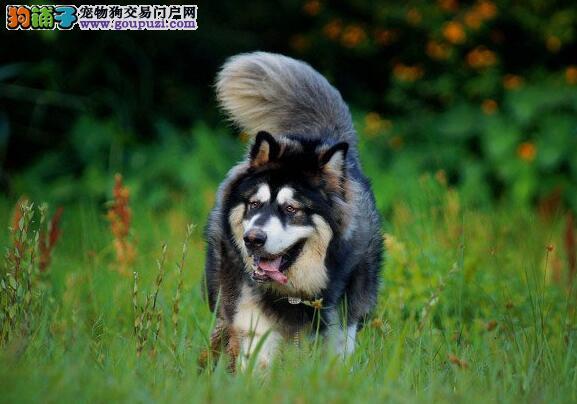 阿拉斯加犬身形特征及外貌特点5