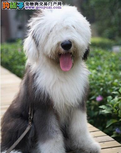 古代牧羊犬不易生病、不挑食但是爱掉毛