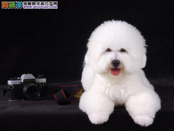 白绒绒的毛发独特造型的比熊犬