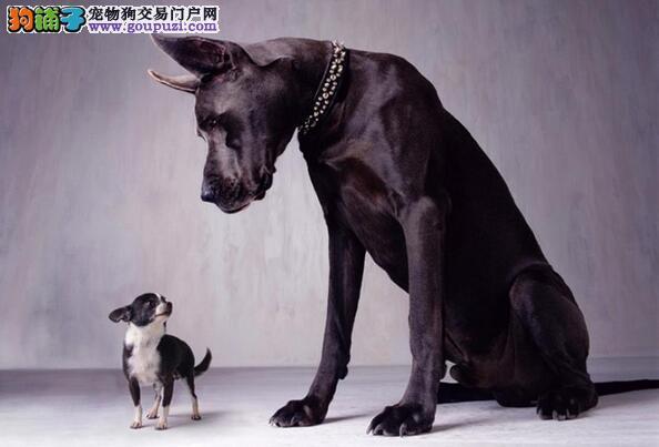 需要花费时间饲养的狗,大丹犬是其中之一5