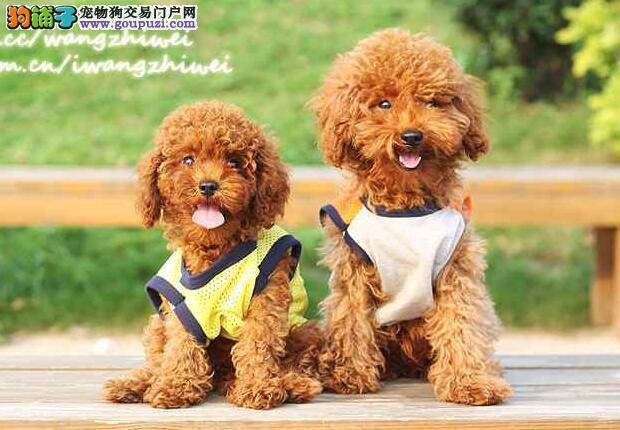 温柔可爱的泰迪犬,伴侣犬最佳选择
