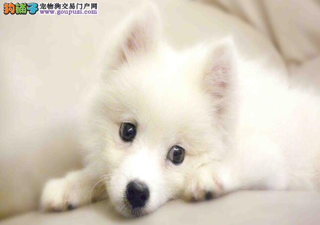 银狐犬日常护理较麻烦,没时间的人慎重选择