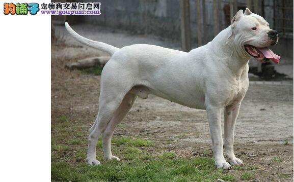 活泼健壮、充满力量的杜高犬