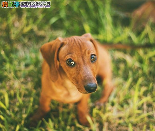 身长腿短的可爱萌犬,腊肠狗
