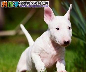 帅气牛头梗犬的个性特点及照护重点