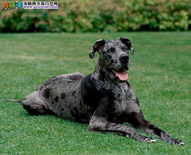 大丹犬的外形特征与常见疾病,养前要了解哦