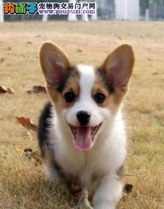 柯基犬的犬种辨别