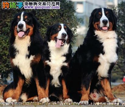 完美适应室内生活的大型犬——伯恩山