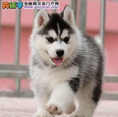 新手饲养西伯利亚雪橇犬前应该知道的事情