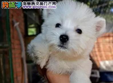 选购西高地白梗犬