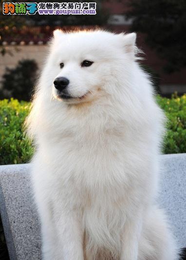萨摩耶幼犬的挑选方法和注意问题