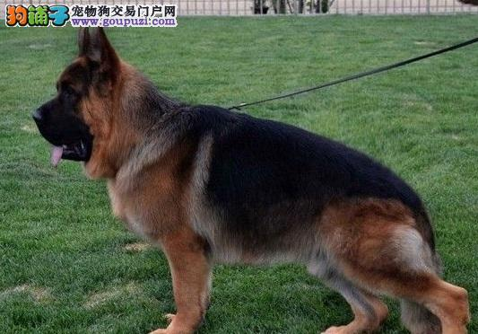 判断德国牧羊犬健康与否的方法