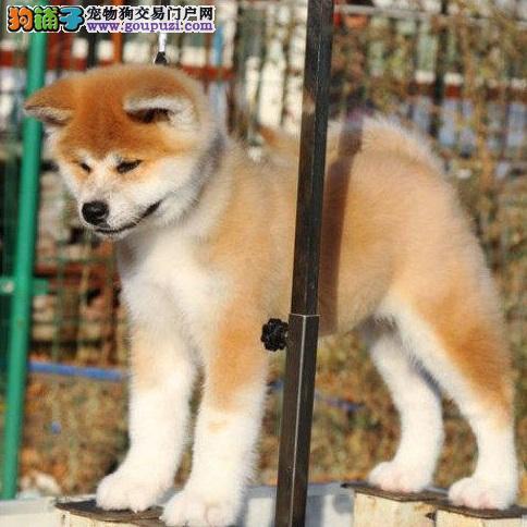 忠犬八公不好惹,秋田犬攻击性强