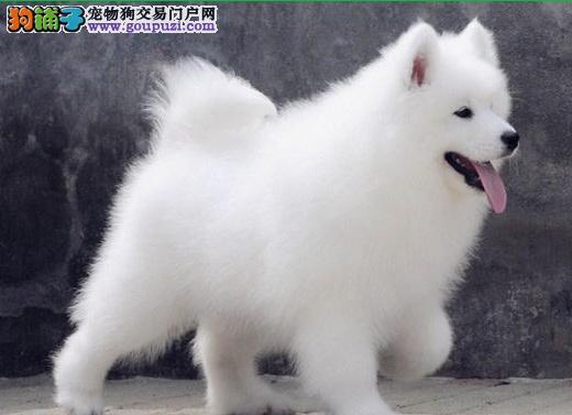 萨摩耶犬购买方法