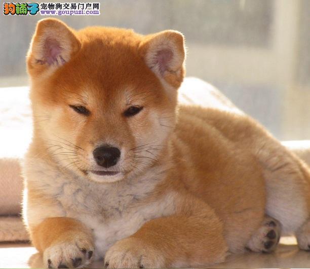 柴犬幼犬颜色挑选